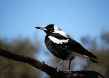 Magpie Foto de Stock Royalty Free