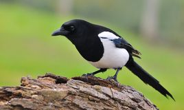 Magpie. Magpie perched on a tree trunk Royalty Free Stock Photography