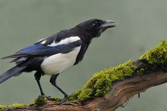 Magpie. Stock Photo