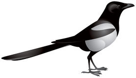 Magpie. (pica-pica), passerine bird of the crow family, realistic vector image Stock Photo