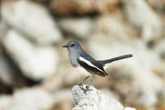 Magpie. Thailang garden bird asia animal Stock Image
