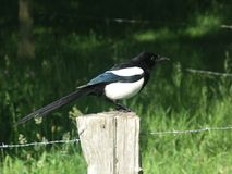 A magpie. Stock Photo