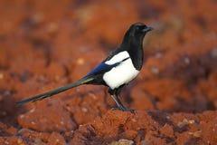 Magpie Стоковая Фотография