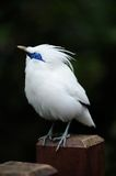 Magpie. White fat cute Magpie standing royalty free stock photography