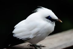 Magpie. White fat cute Magpie standing stock images