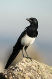 A magpie Royalty Free Stock Images