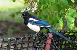 magpie Стоковые Изображения RF