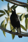 Magpie royalty free stock images