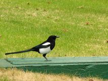 Magpie. A magpie sitting on a concrete slab Stock Images