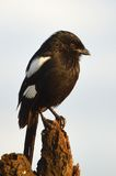 Magpie (african longtailed) shrike (Corvinelle melanoleuca) Royalty Free Stock Photography
