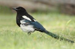 magpie alberta представленный счет banff черный Стоковое Фото
