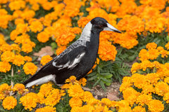 Magpie in australia on orange blossom glower background Stock Image