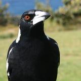Magpie australiano Fotos de Stock Royalty Free