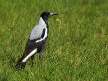 Magpie australiano Imagens de Stock Royalty Free