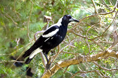 Magpie australiano Foto de Stock