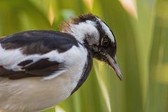 Magpie australiano fotografia de stock