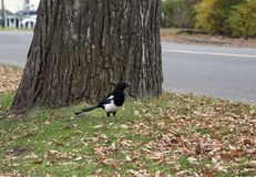 Magpie in autumn Royalty Free Stock Photo