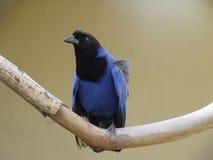 Magpie azul Fotografia de Stock