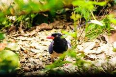Magpie azul Vermelho-faturado Imagem de Stock Royalty Free