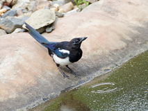 Magpie on the bank of pool Stock Photography