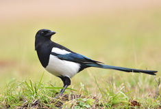 Magpie Royalty Free Stock Photography