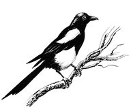 Magpie bird. Ink drawing of a magpie sitting on a tree Stock Image
