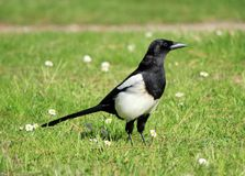 Magpie bird Stock Photography