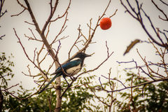 Magpie bird on the persimmons tree on the street in Jeju city. Jeju island, South Korea stock image