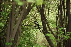 Magpie bird sits on the branch of the tree stock images