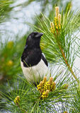 Magpie bird Royalty Free Stock Image