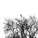 Magpie bird on tree branches Stock Images