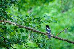 Magpie bird Stock Images
