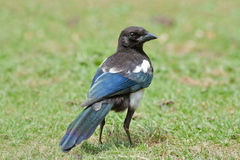 Magpie Stock Images