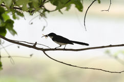 Magpie Black. On a limb and fetching a dragonfly Royalty Free Stock Image