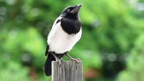 Magpie on board fence stock video