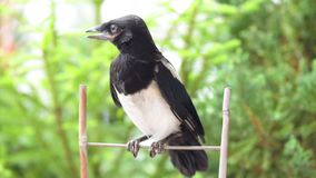 Magpie on board fence stock video footage
