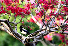 Magpie on branch Stock Image