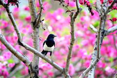 Magpie on branch Royalty Free Stock Photo