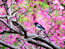 Magpie on branch Royalty Free Stock Images