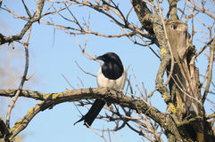 Magpie on a branch Royalty Free Stock Images