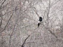Magpie on branch of tree Royalty Free Stock Photo