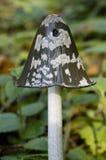 Magpie Cap - Coprinus picaceus Stock Image