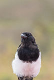 Magpie Close up Stock Photo