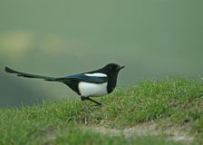 Magpie comum Imagem de Stock Royalty Free