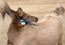 Magpie and cow elk Stock Image