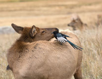 Magpie and cow elk Royalty Free Stock Images
