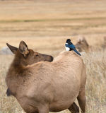 Magpie and cow elk Royalty Free Stock Image