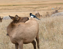 Magpie and cow elk Stock Images
