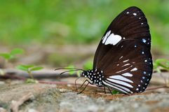 Magpie Crow butterfly. Of Thailand background Royalty Free Stock Photography