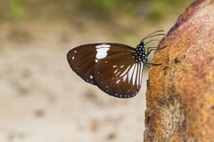 Magpie Crow butterfly Royalty Free Stock Photo